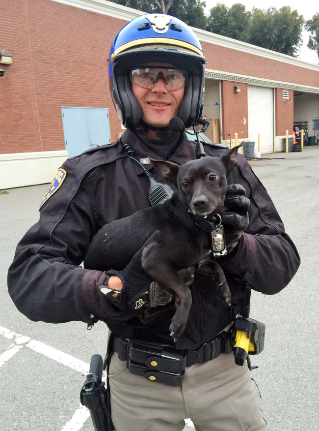 In this photo provided by the California Highway Patrol, CHP Officer G. Pumphrey holds a male Chihuahua after they found it running loose on the San Francisco-Oakland Bay Bridge in San Francisco Sunday, April 4, 2016. Officers finally corralled the dog, then posted this image and video of the chase on their Facebook page seeking the public's help in finding the owner.(California Highway Patrol via AP)